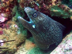 Hourglass Moray eel - Machalilla, Ecuador by Gyorgy Gutierrez 